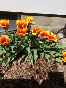 Apology to rabbits - they did not eat my tulips!