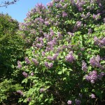Lilacs remind me of my sister who loved them and was a terrific mother.  May she rest in peace.